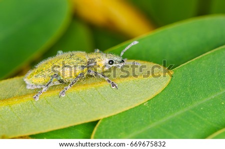 Bug Gold dust weevil on leaf
