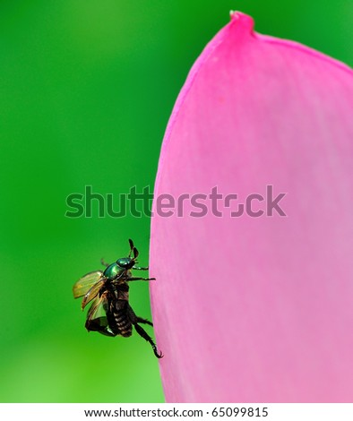bug insect on lotus petal - stock photo