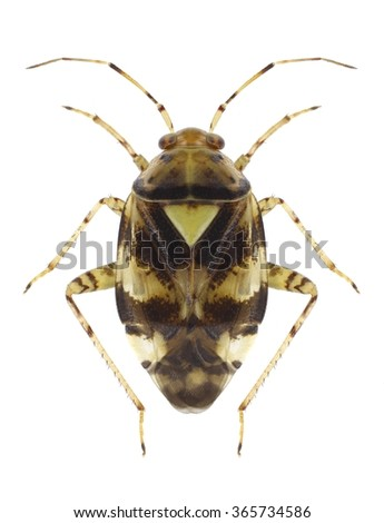 Bug Liocoris tripustulatus on a white background - stock photo