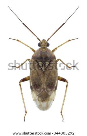 Bug Lygus rugulipennis on a white background - stock photo