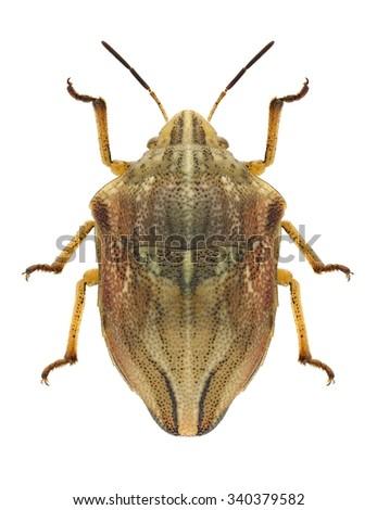 Bug Odontotarsus purpureolineatus on a white background - stock photo