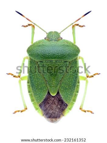 Bug Palomena viridissima on a white background - stock photo
