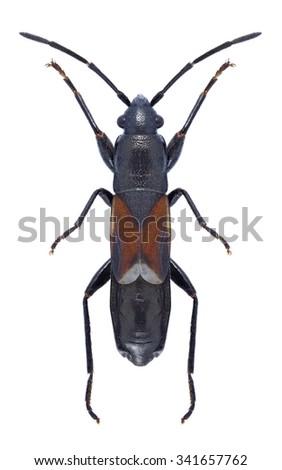 Bug Pterotmetus staphyliniformis on a white background - stock photo