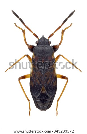 Bug Scolopostethus affinis on a white background - stock photo