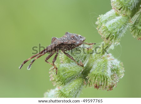 Bug sitting on a blade of grass. Insecta / Hemiptera / Coreidae / Coreus marginatus - stock photo