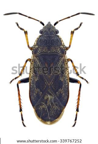 Bug Sphragisticus nebulosus on a white background - stock photo