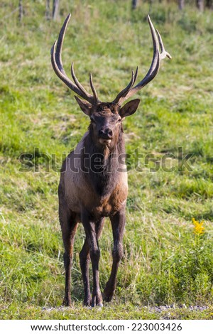 Bugling Bull Elk - Photograph taken in Benezette, Elk County, Pennsylvania