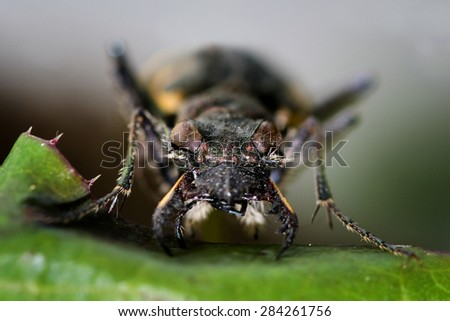 Bugs racers (Latin Cicindelinae) � a subfamily of ground beetles - stock photo