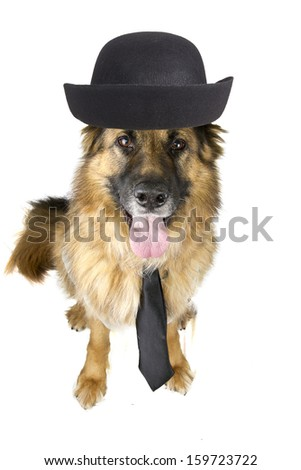 buisness dog German Shepherd  - stock photo