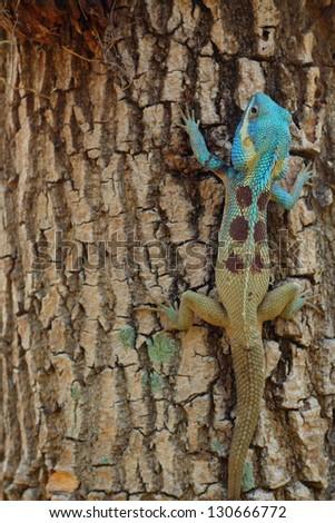 Bule thai lizard on tree - stock photo