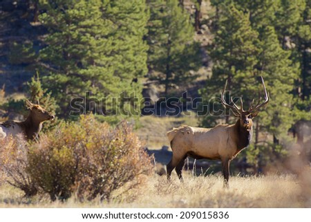 Bull and Cow Elk in Fall Rut