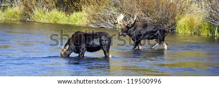 Bull and Cow Moose - stock photo