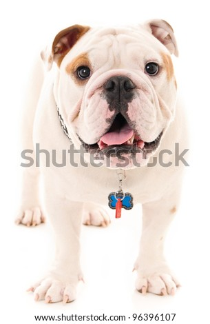 Bull Dog Standing - stock photo