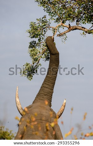 Bull elephant reaching up into a tree for leaves - stock photo