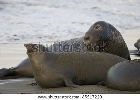 Bull Elephant Seal approaches a female for courting - stock photo
