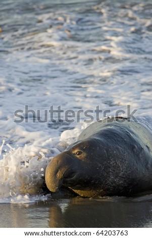 Bull Elephant Seal comes ashore at San Simeon Beach - California - stock photo
