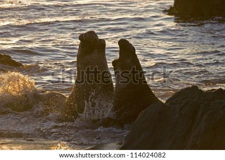 Bull Elephant Seals fight for territory on San Simeon Beach at sunset - stock photo