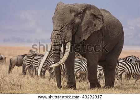 Bull elephant working his way to a watering hole through herds of zebras and wildebeest in the Ngorongoro Crater Conservation Area in Tanzania.