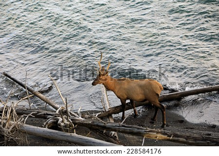 Bull elk beside a lake, Wyoming, USA. - stock photo