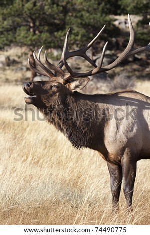 Bull elk bugling in Rocky Mountain National Park