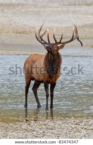 Bull elk, cervus canadensis in Athabasca River, Jasper National Park, Alberta, Canada - stock photo
