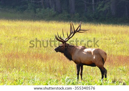 Bull elk during autumn at Cataloochee Valley in the Great Smoky Mountains of North Carolina - stock photo