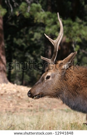 Bull elk eating grass in a pasture.