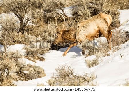 Bull Elk in Winter - stock photo