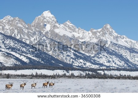 Bull Elk Migrating Through The Snow By The Grand Tetons - stock photo