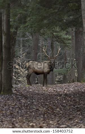 Bull Elk - Photograph taken during the rut in Elk County, Elk State Forest, Benezette, Pennsylvania - stock photo