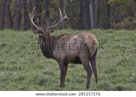 Bull Elk - Photograph taken in Elk County, Elk State Forest, Benezette, Pennsylvania