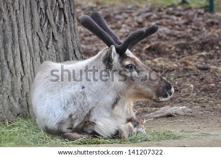 Bull Elk Resting in the Grass - stock photo