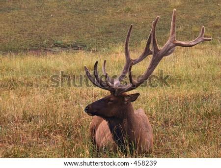 Bull Elk resting in the grass - stock photo