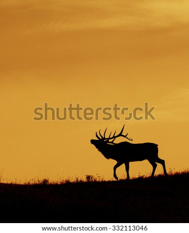 Bull Elk silhouette image; Cervus canadensis Large bull elk with 7 by 8 point antlers walks along a ridge top against a sunrise / sunset sky