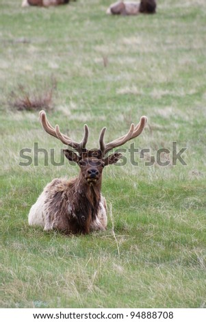 Bull Elk sitting in the Grass