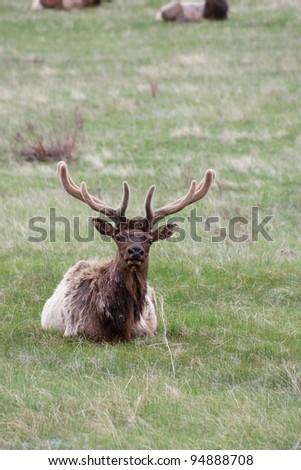 Bull Elk sitting in the Grass - stock photo