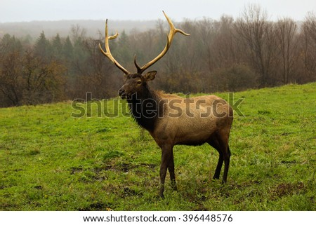 Bull elk walking on fall day