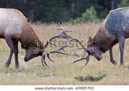 Bull Elks fighting, Jasper National Park, Canada - stock photo