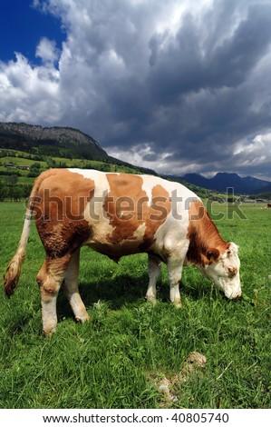 Bull in a grass field near Bad Mittrendorf, Austria - stock photo