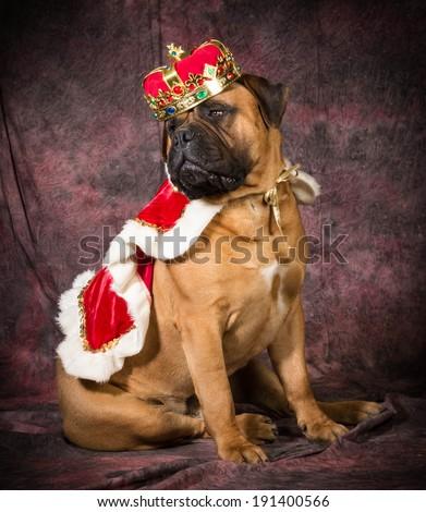 bull mastiff wearing king costume sitting on purple background - stock photo