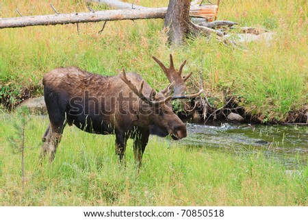 Bull moose grazing along small stream in Yellowstone. - stock photo