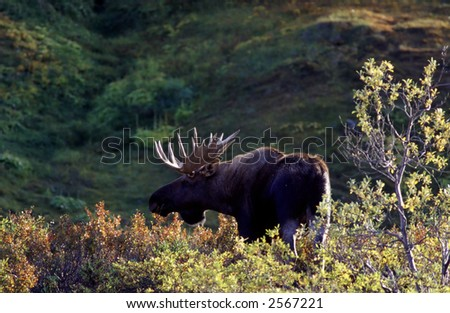 Bull Moose in the forest - stock photo