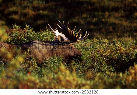 Bull Moose resting in the forest. - stock photo