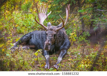 Bull moose takes a break from grazing on willows in Grand Teton National Park, - stock photo