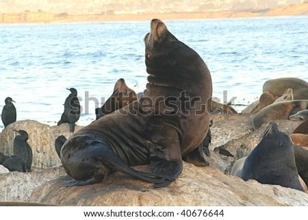 Bull Sea Lion (male) - stock photo