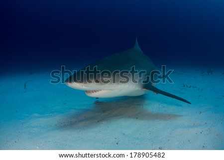 Bull Shark in the Bahamas - stock photo