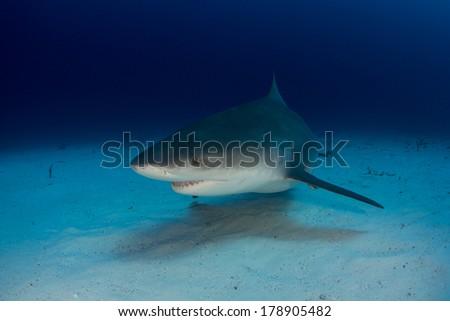 Bull Shark in the Bahamas - stock photo