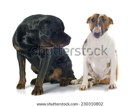 bull terrier and rottweiler in front of white background
