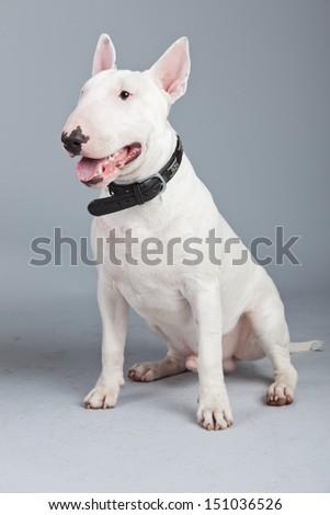 Bull terrier dog isolated against grey background. Studio portrait. - stock photo