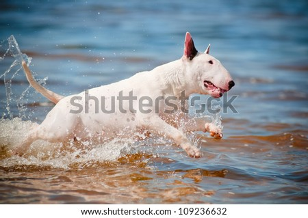 bull terrier dog jumping in the water - stock photo